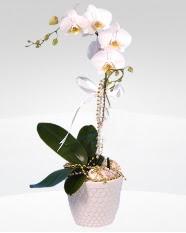 1 dallı orkide saksı çiçeği  Gümüşhane çiçekçi mağazası