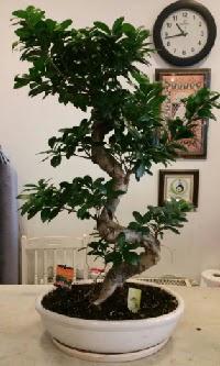 100 cm yüksekliğinde dev bonsai japon ağacı  Gümüşhane internetten çiçek satışı