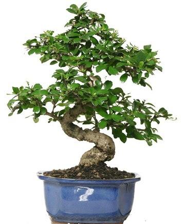 21 ile 25 cm arası özel S bonsai japon ağacı  Gümüşhane online çiçek gönderme sipariş