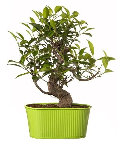 Ficus S gövdeli muhteşem bonsai  Gümüşhane hediye sevgilime hediye çiçek