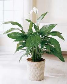 Gümüşhane güvenli kaliteli hızlı çiçek  spatilyum ithal büyük boy
