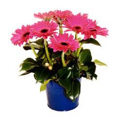 vazo içerisinde gerbera çiçekleri   Gümüşhane güvenli kaliteli hızlı çiçek