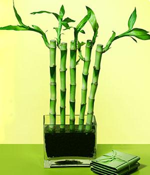 Gümüşhane çiçek gönderme sitemiz güvenlidir  Good Harmony Lucky Bamboo camda