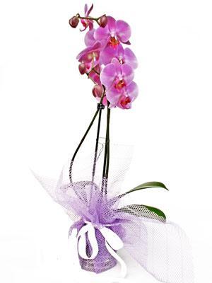 Gümüşhane çiçek gönderme sitemiz güvenlidir  Kaliteli ithal saksida orkide