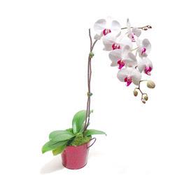 Gümüşhane çiçek siparişi vermek  Saksida orkide