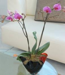 Gümüşhane anneler günü çiçek yolla  tek dal ikili orkide saksi çiçegi