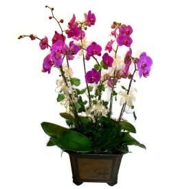 Gümüşhane yurtiçi ve yurtdışı çiçek siparişi  4 adet orkide çiçegi
