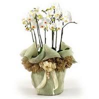 Gümüşhane hediye sevgilime hediye çiçek  3 dal orkide , saksi çiçegi , 3 kök orkide