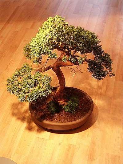 ithal bonsai saksi çiçegi  Gümüşhane çiçek satışı