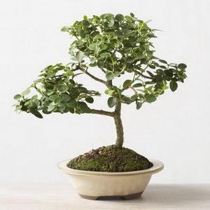 ithal bonsai saksi çiçegi  Gümüşhane çiçek gönderme