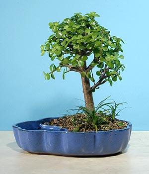 ithal bonsai saksi çiçegi  Gümüşhane çiçek servisi , çiçekçi adresleri
