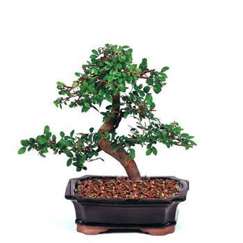 ithal bonsai saksi çiçegi  Gümüşhane kaliteli taze ve ucuz çiçekler