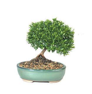 ithal bonsai saksi çiçegi  Gümüşhane online çiçekçi , çiçek siparişi
