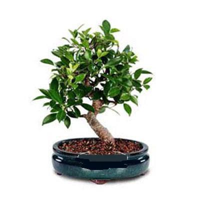 ithal bonsai saksi çiçegi  Gümüşhane hediye sevgilime hediye çiçek