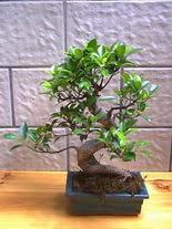 ithal bonsai saksi çiçegi  Gümüşhane çiçek yolla
