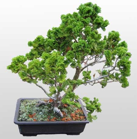 ithal bonsai saksi çiçegi  Gümüşhane internetten çiçek satışı