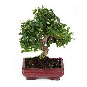 ithal bonsai saksi çiçegi  Gümüşhane çiçek gönderme sitemiz güvenlidir