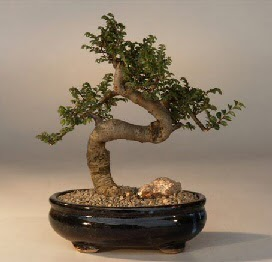 ithal bonsai saksi çiçegi  Gümüşhane İnternetten çiçek siparişi