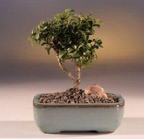 Gümüşhane internetten çiçek siparişi  ithal bonsai saksi çiçegi  Gümüşhane çiçek online çiçek siparişi