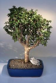 Gümüşhane çiçek siparişi vermek  ithal bonsai saksi çiçegi  Gümüşhane çiçek servisi , çiçekçi adresleri