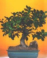 Gümüşhane online çiçek gönderme sipariş  ithal bonsai saksi çiçegi  Gümüşhane çiçek mağazası , çiçekçi adresleri