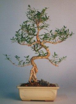 Gümüşhane cicek , cicekci  ithal bonsai saksi çiçegi  Gümüşhane kaliteli taze ve ucuz çiçekler
