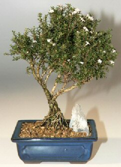 Gümüşhane cicekciler , cicek siparisi  ithal bonsai saksi çiçegi  Gümüşhane güvenli kaliteli hızlı çiçek