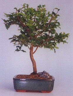 Gümüşhane uluslararası çiçek gönderme  ithal bonsai saksi çiçegi  Gümüşhane çiçek gönderme sitemiz güvenlidir