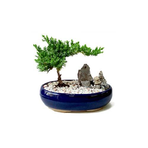 ithal bonsai saksi çiçegi  Gümüşhane çiçek siparişi vermek