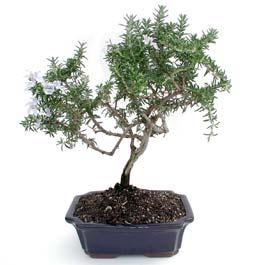 ithal bonsai saksi çiçegi  Gümüşhane online çiçek gönderme sipariş