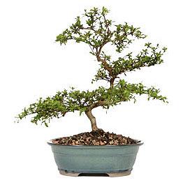 Gümüşhane internetten çiçek satışı  ithal bonsai saksi çiçegi  Gümüşhane çiçekçiler