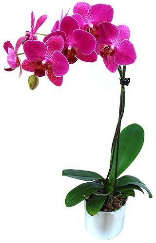 Gümüşhane anneler günü çiçek yolla  saksi orkide çiçegi