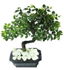 9 yasinda Bonsai agaci  Gümüşhane hediye çiçek yolla
