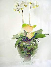 Gümüşhane cicek , cicekci  Cam yada mika vazoda özel orkideler