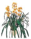 Gümüşhane çiçek servisi , çiçekçi adresleri  Orchiede ithal büyük boy saksi