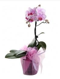 1 dal pembe orkide saksı çiçeği  Gümüşhane çiçek , çiçekçi , çiçekçilik