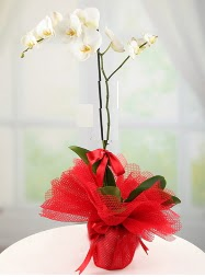 1 dal beyaz orkide saksı çiçeği  Gümüşhane hediye çiçek yolla