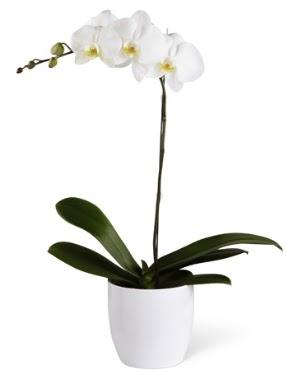 1 dallı beyaz orkide  Gümüşhane İnternetten çiçek siparişi