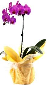 Gümüşhane hediye sevgilime hediye çiçek  Tek dal mor orkide saksı çiçeği