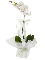 1 dal beyaz orkide çiçeği  Gümüşhane kaliteli taze ve ucuz çiçekler