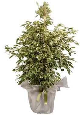 Orta boy alaca benjamin bitkisi  Gümüşhane çiçek online çiçek siparişi