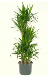 7 li yucca saksı bitkisi  Gümüşhane çiçekçi telefonları