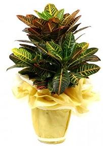 Orta boy kraton saksı çiçeği  Gümüşhane İnternetten çiçek siparişi