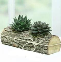 Doğal kütük içerisinde 2 adet kaktüs  Gümüşhane hediye sevgilime hediye çiçek