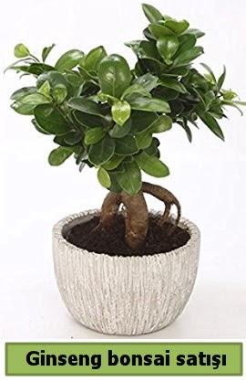 Ginseng bonsai japon ağacı satışı  Gümüşhane online çiçek gönderme sipariş