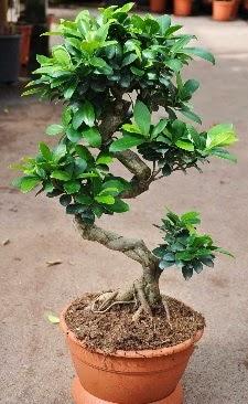 Orta boy bonsai saksı bitkisi  Gümüşhane çiçek mağazası , çiçekçi adresleri