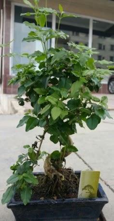 Bonsai japon ağacı saksı bitkisi  Gümüşhane kaliteli taze ve ucuz çiçekler