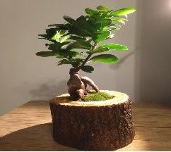 Doğal kütükte Bonsai japon ağacı satışı  Gümüşhane çiçek online çiçek siparişi