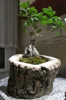 Ahşap kütük içerisinde ginseng bonsai  Gümüşhane çiçek mağazası , çiçekçi adresleri