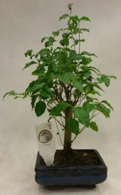 Minyatür bonsai japon ağacı satışı  Gümüşhane online çiçek gönderme sipariş
